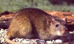 Не более 80% домов в Петербурге заселено крысами. Это норма