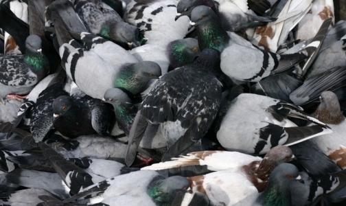 Россельхознадзор испытывает вакцину для голубей