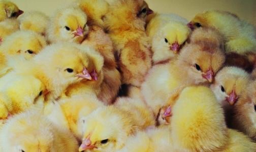 Роспотребнадзор предупреждает туроператоров о птичьем гриппе