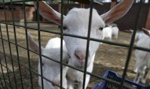 Чтобы спасти человечество от инфекций, надо запретить антибиотики для животных