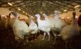 России угрожают новые вспышки птичьего гриппа
