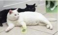 Российские ученые «поставили на лапы» котов-инвалидов