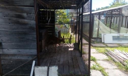 Главврач станции «Скорой» в Биробиджане приютил раненую косулю