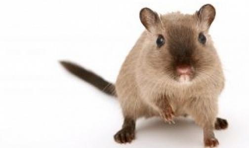 За год 13 петербуржцев заразились «мышиной болезнью»