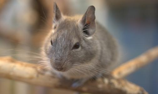 Грозит ли Петербургу саратовская эпидемия «мышиной лихорадки». Как не заразиться страшной болезнью