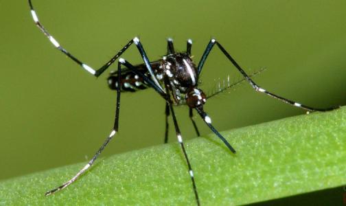 Юг России приглянулся опасным комарам из Африки и Азии. Эксперты сказали, как их отличить от обычных