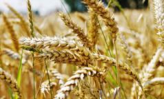 Петербургские ученые создали диетический сорт пшеницы