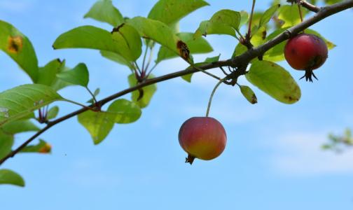 В каждом третьем яблочном пюре эксперты нашли следы пестицидов